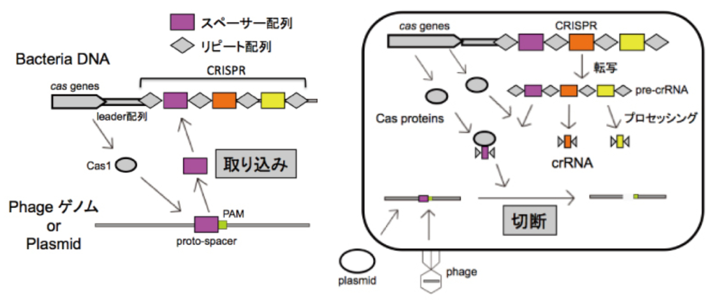crispr-cas-system