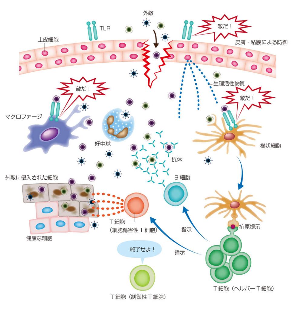 human-immune-system