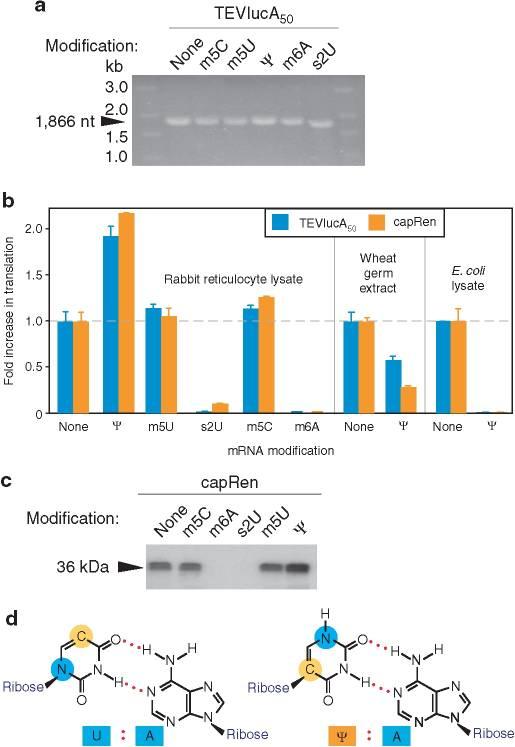 pseudouridine-mRNA