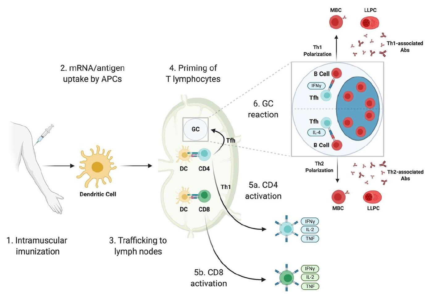 sars-cov-2-mrna-vaccine-response